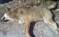 Pecore uccise dai lupi: la Regione risarcirà gli allevatori. Il bando uscirà in ottobre