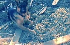 Il cucciolo di pastore tedesco trovato a Prato