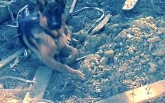 Prato, cucciolo di pastore tedesco trovato incatenato tra i rifiuti
