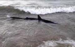Castiglion della Pescaia: squalo vicino alla riva, un bagnino lo fotografa, i bagnanti scappano