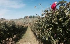 Vendemmia 2016 in Toscana: diminuisce la quantità di vino (meno 5%) ma cresce la qualità