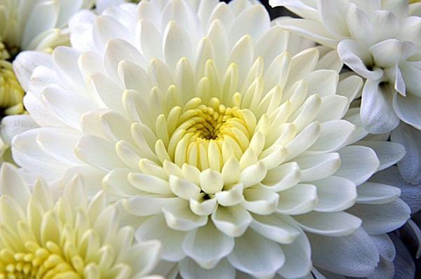 Crisantemo, fiore nazionale del Giappone simbolo di vita.