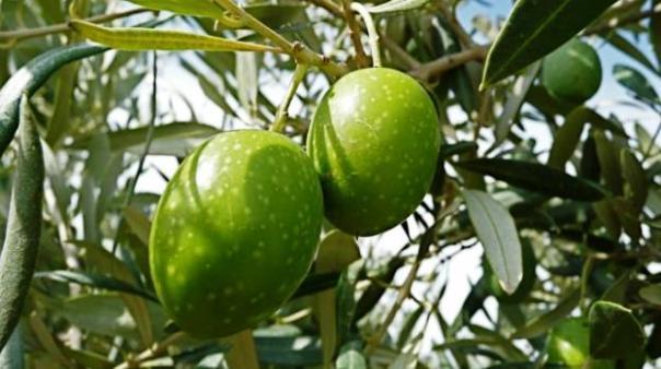 Raccolta delle olive quasi inesistente: ha vinto la mosca