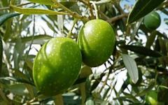 Toscana: a giugno l'olio d'oliva sarà finito. L'allarme di Coldiretti: attenti alla contraffazione