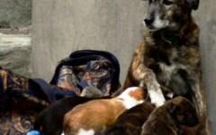 Pistoia, cuccioli venduti a 2 euro per avere l'elemosina. Appello dell'Enpa: «Aiutateci a ritrovarli»