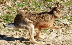 Toscana, Isola d'Elba: la rarissima lepre italica è tornata