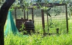 Cinghiali, cervi e caprioli in Toscana: la Regione prepara una legge ad hoc. Via alla caccia di selezione