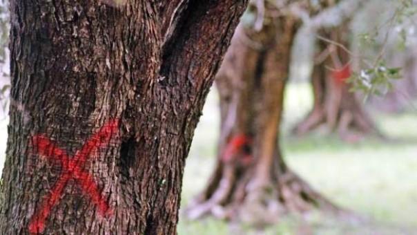 Il batterio Xylella sta distruggendo molti ulivi soprattutto in Puglia