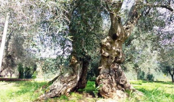 Liguria, non è afflitto da Xylella l'ulivo che sarebbe arrivato dalla Toscana