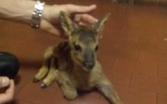Figline Valdarno: trovato cucciolo di capriolo. Consegnato ai vigili del fuoco