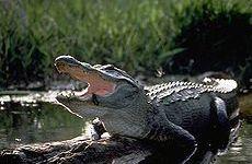 Alligatore attacca bambino in Florida, l'esperto di Firenze: era preda in movimento