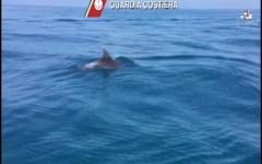 Viareggio: delfini nuotano al largo, filmati dalla Guardia costiera (Video)