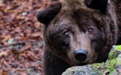 Cavriglia, parco: è morto a 36 anni Bruno, l'orso 'comunista', uno dei più vecchi della sua specie