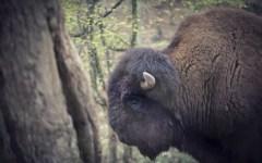 Cavriglia: il bisonte Arturo emigra a Ravenna. Ma gli animalisti vogliono che vada nei pascoli tedeschi