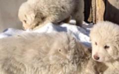 Rigopiano: ritrovati vivi i tre cuccioli di pastore abruzzese. Erano nel locale caldaie