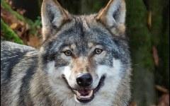Pitigliano (Gr): trovata carcassa di lupo decapitato, protestano gli ambientalisti