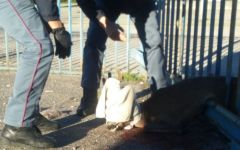 Pistoia: capriolo ferito salvato da agenti della questura e dai vigili del fuoco