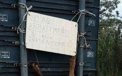 Suvereto (Livorno): lupo scuoiato e appeso a un cartello. Il sindaco: «Gesto infame»