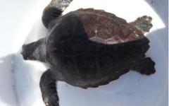 Livorno: recuperati due esemplari di tartarughe Caretta Caretta