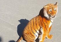 Firenze: tigre in strada. Ma era di peluche. Indagini dei carabinieri