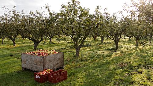 sad jabłoniowy
