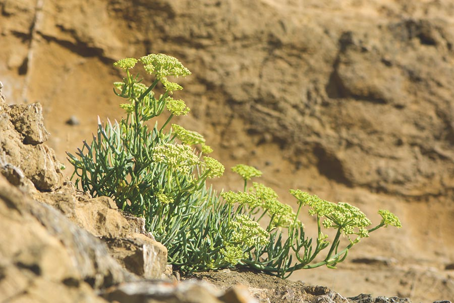 rock samphire - wild sea veggies