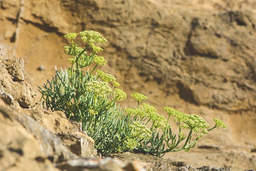 rock samphire - wild sea veggies