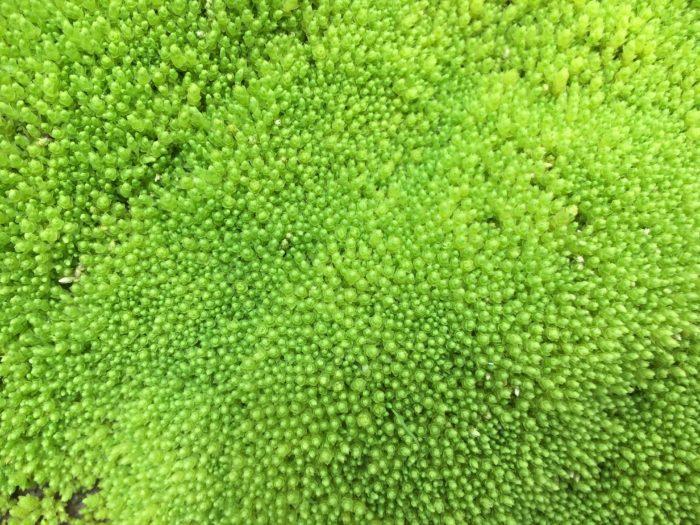 Alaska Basin moss (?)