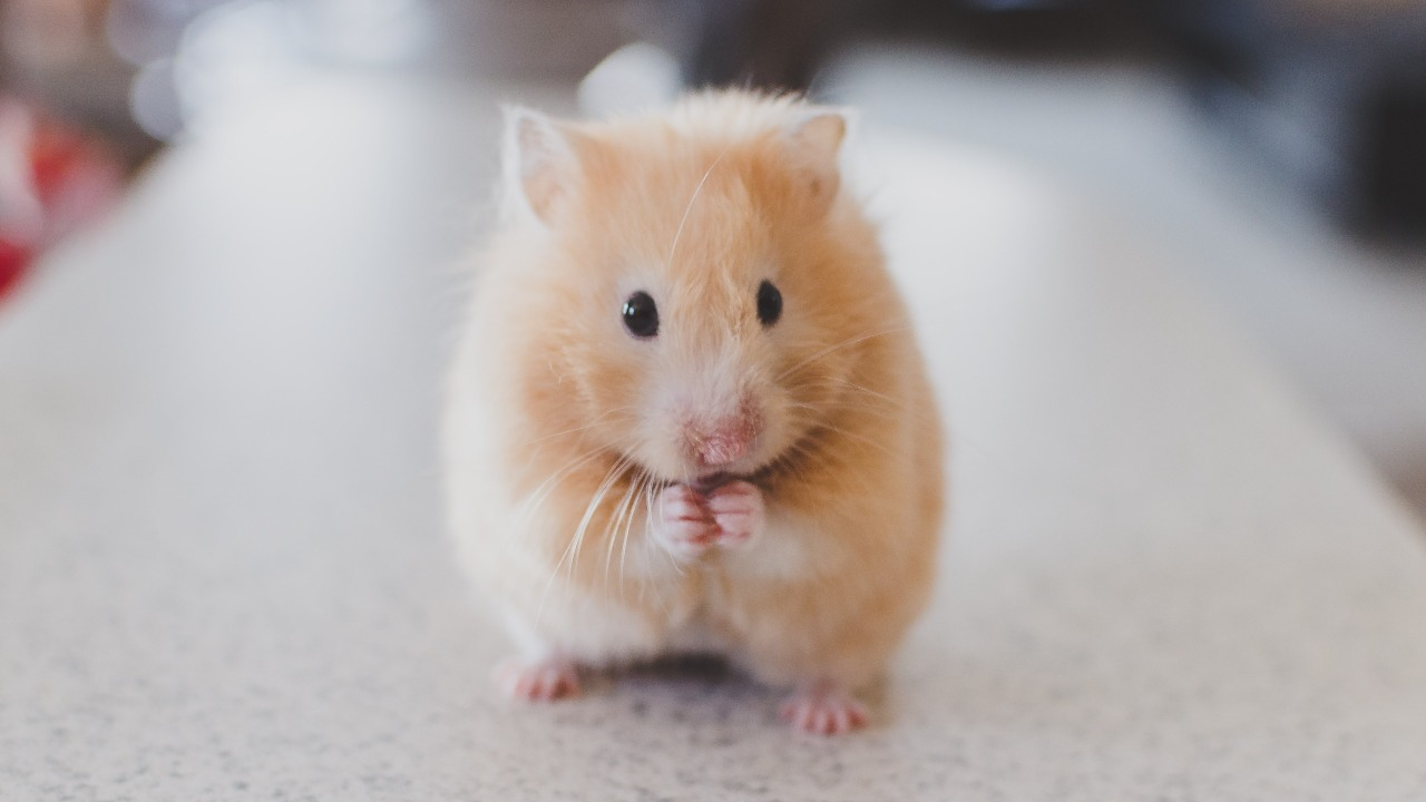 Favipiravir at high doses works to curb COVID19 in hamsters HCQ ineffective Study