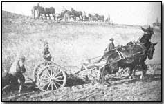 British Army mules in roadmaking operation on the Western Front