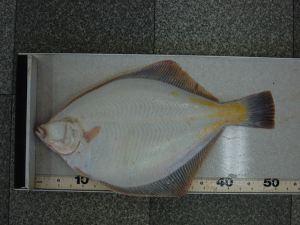 マガレイ50cm