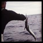 sailfish jump