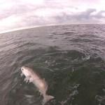 Islamorada gulf redfish