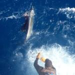 islamorada sailfish