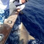 islamorada bull shark