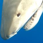 tiger shark head