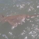 islamorada sawfish