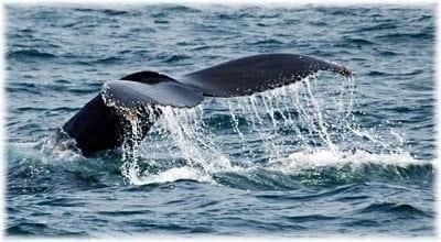 Humpback Whale Tail on Kodiak Sightseeing and Wildlife Cruise in Alaska