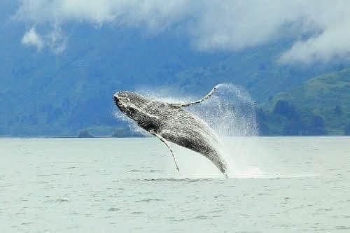 Breaching Humpback Whale at Whales pass Kodiak Alaska
