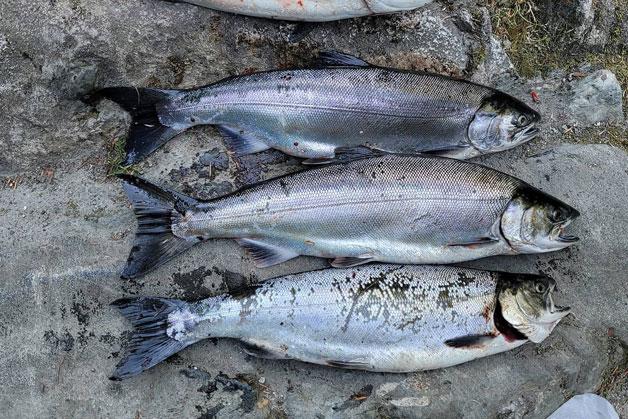 Tidal Fraser River coho salmon
