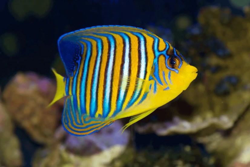 Peaceful Saltwater Aquarium Fish