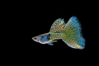 Cỏ cá bảy màu