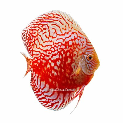 Checkerboard Red Valentine Discus