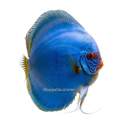 Discus Blu Cobalto