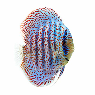 Leopard Spotted Discus