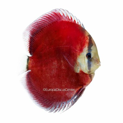Discus Red Cover