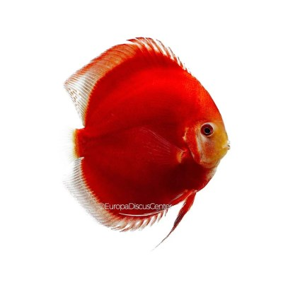 Red Diamond Discus