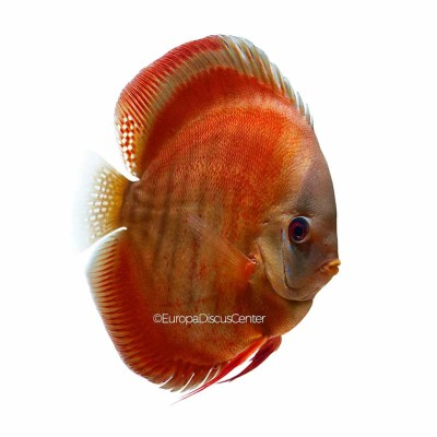 Discus Red Rose
