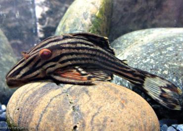 L27 Panaque Red Fin Rio Xingu
