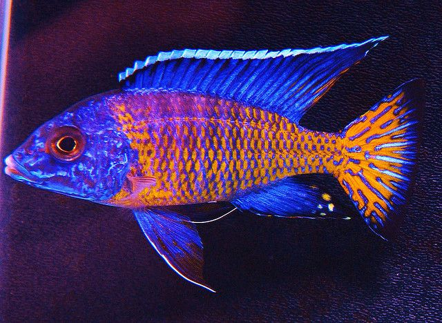 Aulonocara Stuartgranti - Ngara Peacock